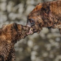 Медвежонок с медедицей :: Nn semonov_nn