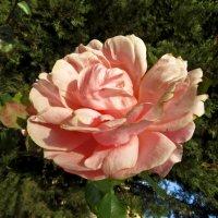 Цветок, прекрасный точно жизнь :: Наталья (D.Nat@lia) Джикидзе (Берёзина)