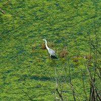 Цапля на болоте в большом городе :: Damir Si
