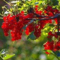 Куст красной смородины :: Владимир Максимов