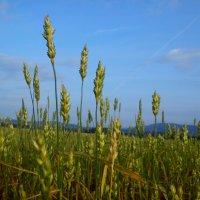 Пшеничное поле :: оксана