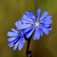 Вот цветет цветочек в поле у меня....... :: Игорь Егоров