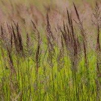 Полевая трава :: Михаил Михальчук