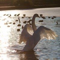 Лебедь :: GeraS | Photo