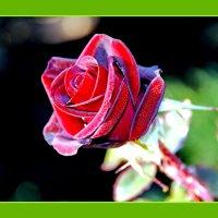 Роза любви :: виталий Цицюрский