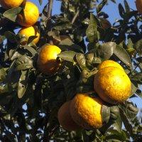 апельсины :: Александр Альтшулер