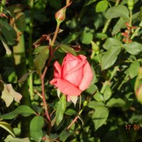 роза :: Надежда Пономарева (Молчанова)