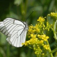 Бабочка :: Вероника Егорова