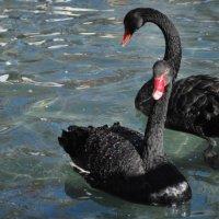 Черные лебеди :: Elena Balatskaya