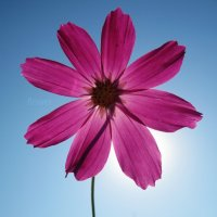 flower :: Larisa Oparina