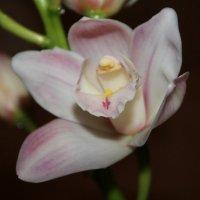 Орхидея :: Оля Чеченец