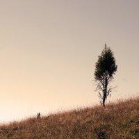 одинокий кедр :: Emma Jartera