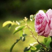 wild rose :: Анжела Новикова