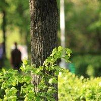 Нежные листья мая :: Владимир Немцев
