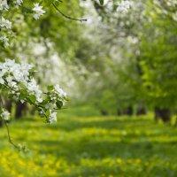 Весенний сад :: Людмила Алексеенкова