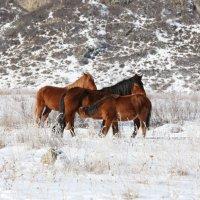 Кони в алтайских горах :: IGOR KOUZNETSOV