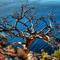 Солнце, море и старый дуб.... :: Носов Юрий