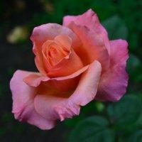 роза :: Валера Горбань
