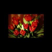 Тюльпаны :: Катерина Чернякова