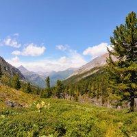 Сибирский кедр на альпийской лужайке :: Виктор Никитин