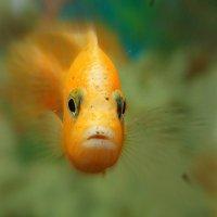 Рыбка золотая. :: Галина Кучерина