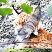 рыся в зоопарке :: Nina Zhafirova