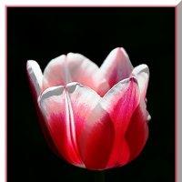 тюльпан в пол-оборота :: Pavel Stolyar
