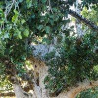 Фикус Сикомор у монастыря Айя-Напы, Кипр. :: Татьяна Калинкина