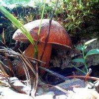 Белый гриб 3 :: оксана