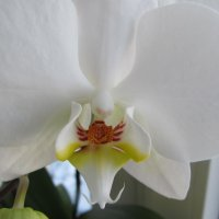 Орхидея :: Яна Чепик