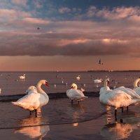 Лебеди на закате :: Максим Шинкаренко