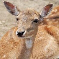 Bambi :: Swetlana V