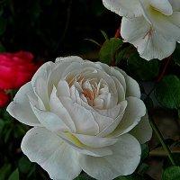 как хороши, как свежи были розы... :: Александр Корчемный