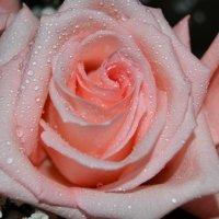 Розовые розы :: Алина *