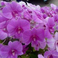 Орхидеи. :: Чария Зоя