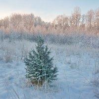 Одинокая елочка :: Валерий Талашов
