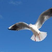 Чайка :: Михаил hfg