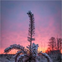 В лесу родилась елочка... :: Елена Ерошевич