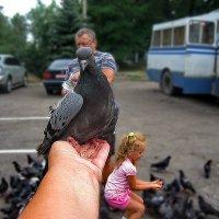 голубь...внучка...дед...бабка... :: Ольга Cоломатина