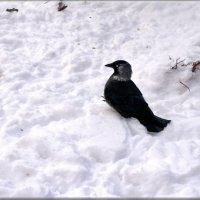 галка :: linnud