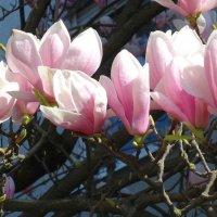 Удивительной красоты цветок!  Магнолия - символ непорочности и благородства. :: Galina Dzubina