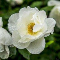 Роза белая под дождём в январе :: Александр Деревяшкин