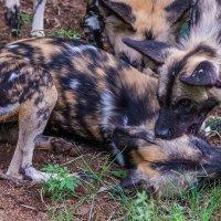 Игрища диких собак. :: Ирина Кеннинг