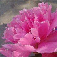 Розовый сон минувшей весны... :: Нина Корешкова