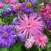 Разноцветье астр. :: Чария Зоя