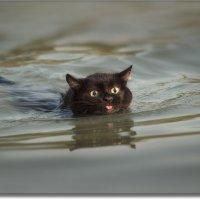 Водоплавающий котусь (не постановочное фото!!!!!) :: Виталий Нагиев