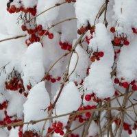 Калина в снегу, :: Семён Пензев