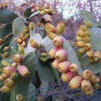 Плоды кактуса :: Герович Лилия