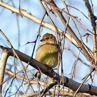 Маленькой пташке холодно зимой. :: Sergey Serebrykov