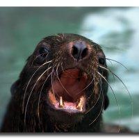 Морской котик :: GaL-Lina .